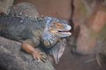 ... love this iguana